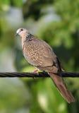 Plan rapproché de colombe repérée image libre de droits