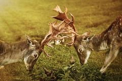 Plan rapproché de combat de cerfs communs Image libre de droits
