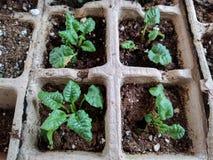 Plan rapproché de commencer des jeunes plantes à l'intérieur Photos libres de droits