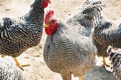 Plan rapproché de coq et de poules avec les plumes noires et blanches photographie stock libre de droits