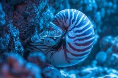 Plan rapproché de coquille de Nautilus dans l'aquarium Image libre de droits