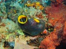 Plan rapproché de corail mou Indonésie Sulawesi Images stock