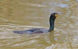 Plan rapproché de Cormorant Photographie stock libre de droits