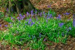 Plan rapproché de correction de jacinthe des bois dans les bois Photos stock