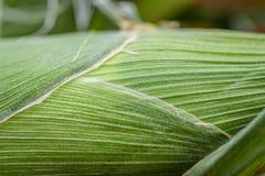 Plan rapproché de cosse de maïs Photos libres de droits
