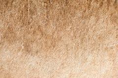 Plan rapproché de couche de lion images stock