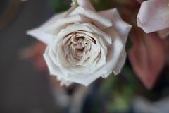 Plan rapproché de couleur en pastel de Rose Photo stock