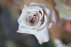 Plan rapproché de couleur en pastel de Rose Photos stock