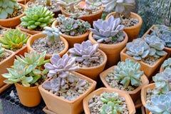 Plan rapproché de crèche colorée de succulents Photos stock