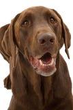 Plan rapproché de crabot de chien d'arrêt de Labrador de chocolat Photo libre de droits