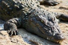 Plan rapproché de crocodile Photo libre de droits