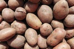 Plan rapproché de culture de pomme de terre Photos stock