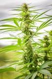 Plan rapproché de détail d'usine de chanvre de cannabis ou de marijuana Photographie stock libre de droits