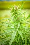 Plan rapproché de détail d'usine de chanvre de cannabis ou de marijuana Image libre de droits