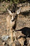 Plan rapproché de daine de cerfs communs de mule dans le pré herbeux en Rocky Mountains Photo stock