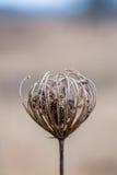 Plan rapproché de dessus de wildflower sec avec le fond mou de foyer Images libres de droits