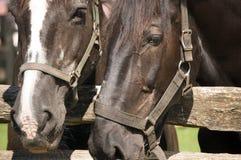 Plan rapproché de deux chevaux Photographie stock libre de droits