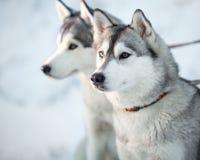 Plan rapproché de deux chiens de chien de traîneau sibérien Photographie stock libre de droits