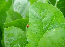 Plan rapproché de deux coccinelles rouges faisant l'amour au bord de la feuille vert clair Photographie stock libre de droits