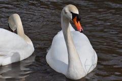 Plan rapproché de deux cygnes blancs merveilleux nageant en rivière à Kassel, Allemagne Image stock