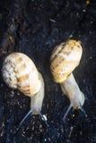 Plan rapproché de deux escargots rampant sur un rondin brûlé avec un fond mou photographie stock