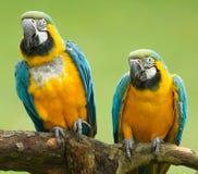 Plan rapproché de deux perroquets d'ara Images stock