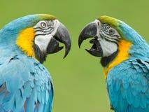 Plan rapproché de deux perroquets d'ara Photographie stock libre de droits