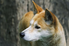 Plan rapproché de dingo Images libres de droits