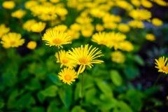 plan rapproché de Doux-orientation des fleurs jaunes images libres de droits