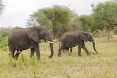 Plan rapproché de famille d'éléphant africain Photographie stock