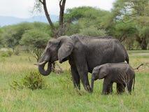 Plan rapproché de famille d'éléphant africain Photographie stock libre de droits