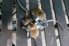 Plan rapproché de famille de singe Photographie stock
