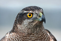 Plan rapproché de faucon Photos stock