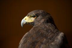 Plan rapproché de faucon de Harris avec la tête tournée Photos stock