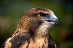 Plan rapproché de faucon de MERLIN image libre de droits