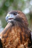 Plan rapproché de faucon Rouge-Suivi Image libre de droits