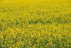 Plan rapproché de ferme de moutarde Images libres de droits