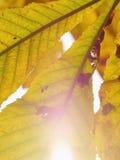 Plan rapproché de feuille d'automne Photos libres de droits