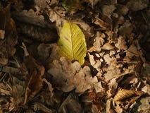 Plan rapproché de feuille d'automne Photographie stock