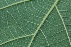 Plan rapproché de feuille verte, fond vert de texture de feuille Photo libre de droits