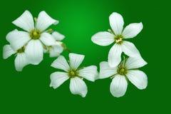 Plan rapproché de fleur blanche Image libre de droits