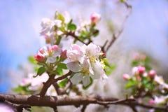 Plan rapproché de fleur d'Apple Ressort aube Un début neuf Photo stock