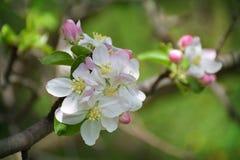 Plan rapproché de fleur d'Apple Ressort Un début neuf Belle saison Photographie stock