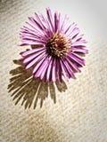 Plan rapproché de fleur d'aster (10) Photo libre de droits