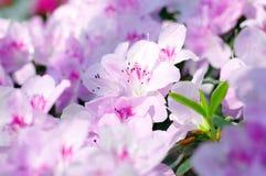 Plan rapproché de fleur d'azalée. Image libre de droits