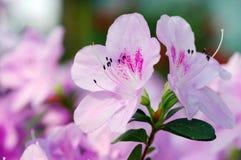 Plan rapproché de fleur d'azalée. Photographie stock libre de droits