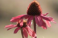 Plan rapproché de fleur d'Echinacea Photos libres de droits