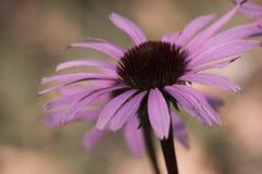 Plan rapproché de fleur d'Echinacea Photos stock