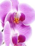 Plan rapproché de fleur d'orchidée Photographie stock libre de droits
