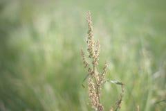 Plan rapproché de fleur d'oseille Photographie stock